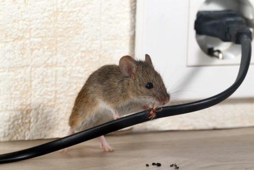 Maus knabbert an Kabel